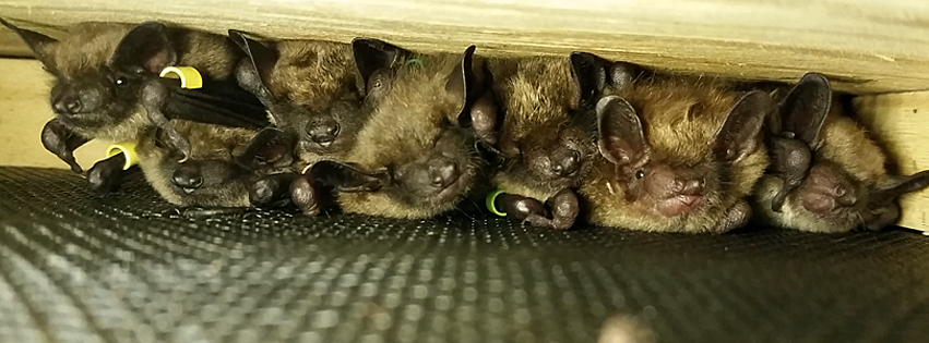 Wild Things Sanctuary Is One Of The Only Rehabilitation Centers In Upstate New York To Rehabilitate Bats We Love Them Many People Have Asked Us About Bat